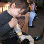 bottle feeding at farmer gows