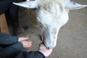 hand feeding a sheep