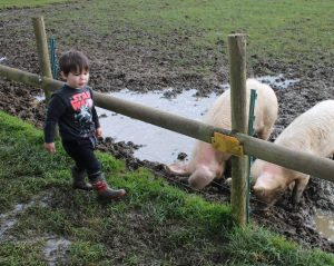 visiting the pigs in their muddy field