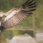 vulture in display