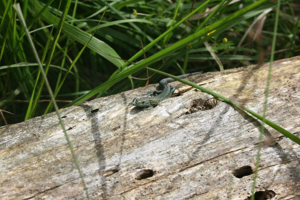 common lizard uk sat on a log