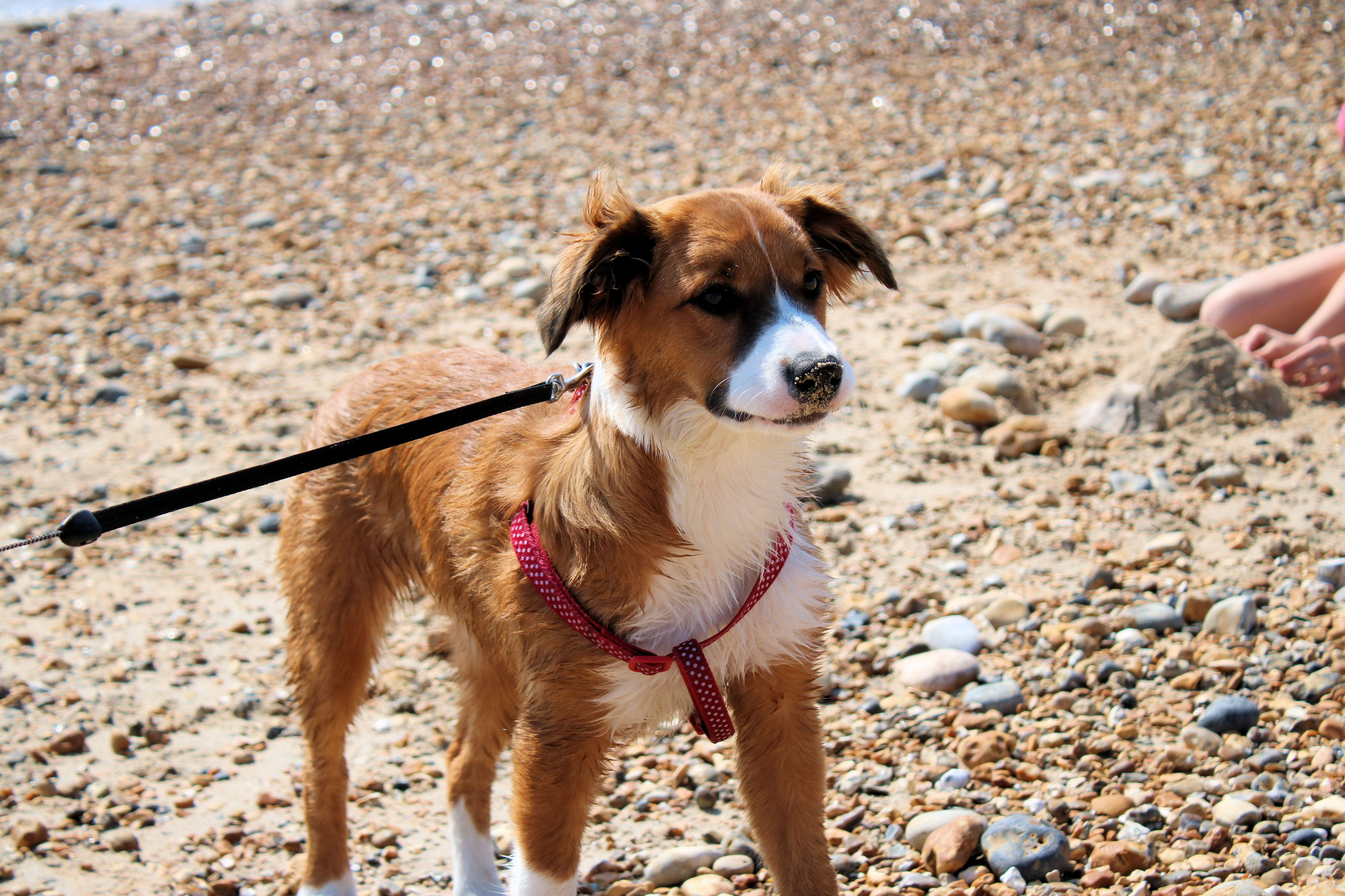 Young Willow puppy stood on beach