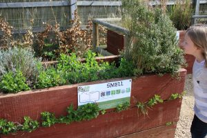 scented flower beds in the sensory garden