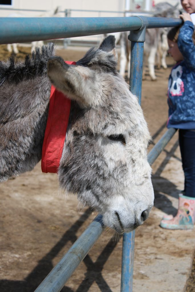 grey donkey with red collar