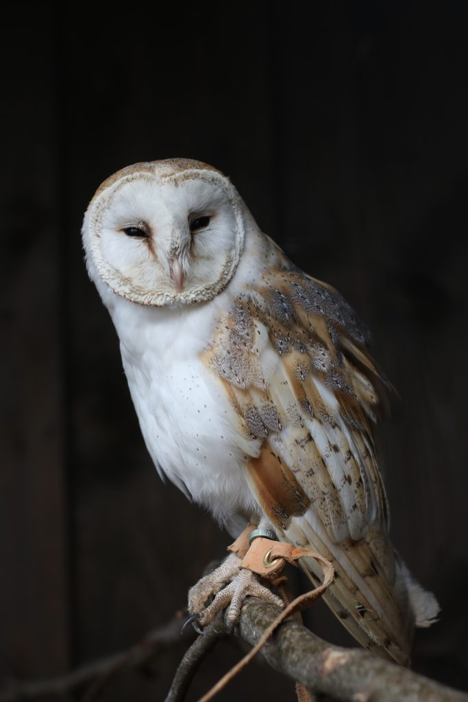 barn owl sat on branch at Millets Falconry Centre