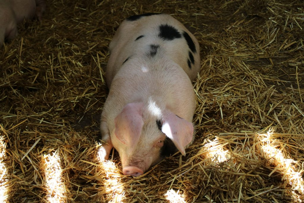 pig laying in hay