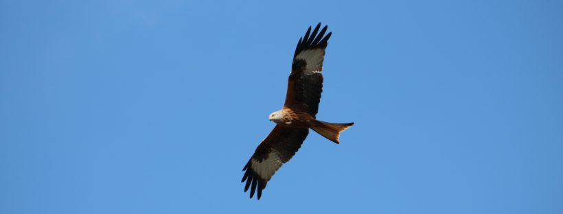 Red kite bird above Didcot, South Oxfordshire