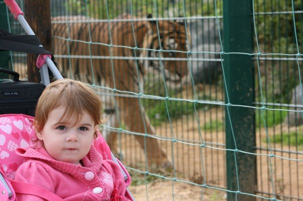 tiger at the Isle Of Wight Zoo