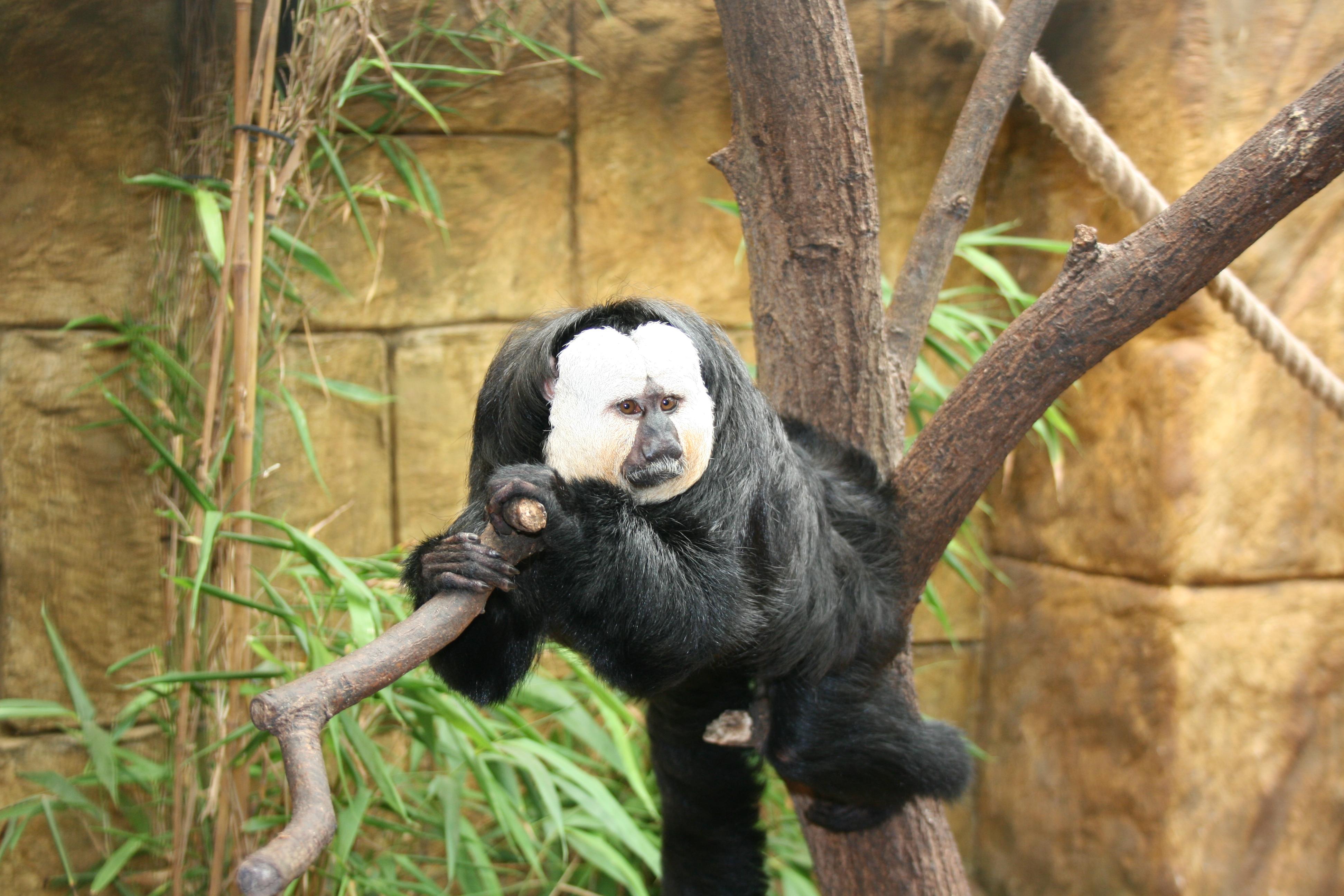 howler monkey at Amazon World, Isle of Wight