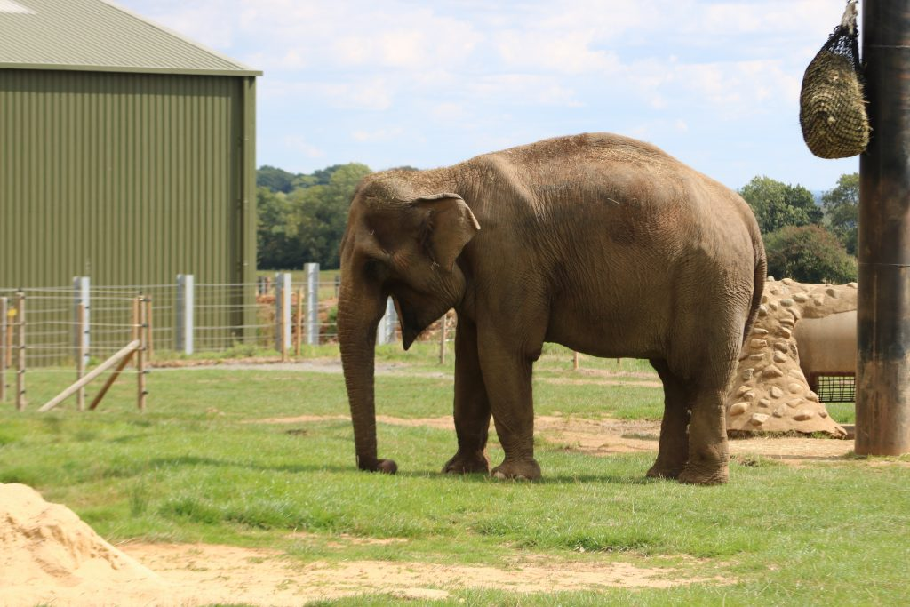 elephant at ZSL Whipsnade zoo