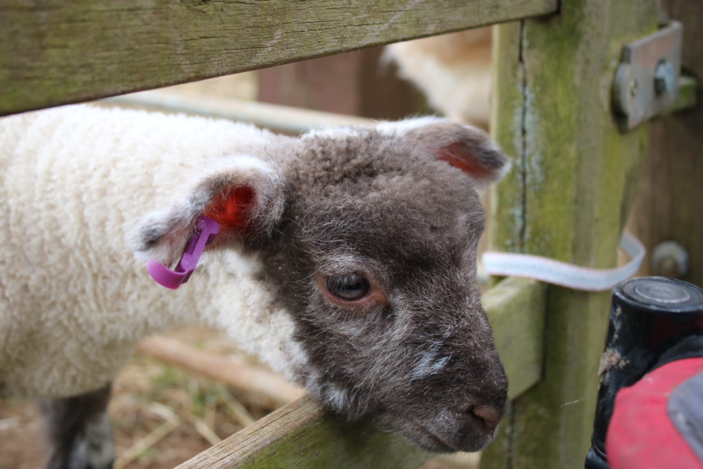 Lamb peeking through fence at Fairytale Farm Oxfordshire in the Easter holidays