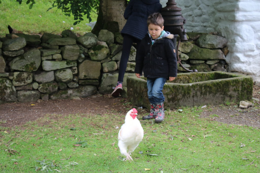 Chickens in the farmyard at Ulster American Folk PArk