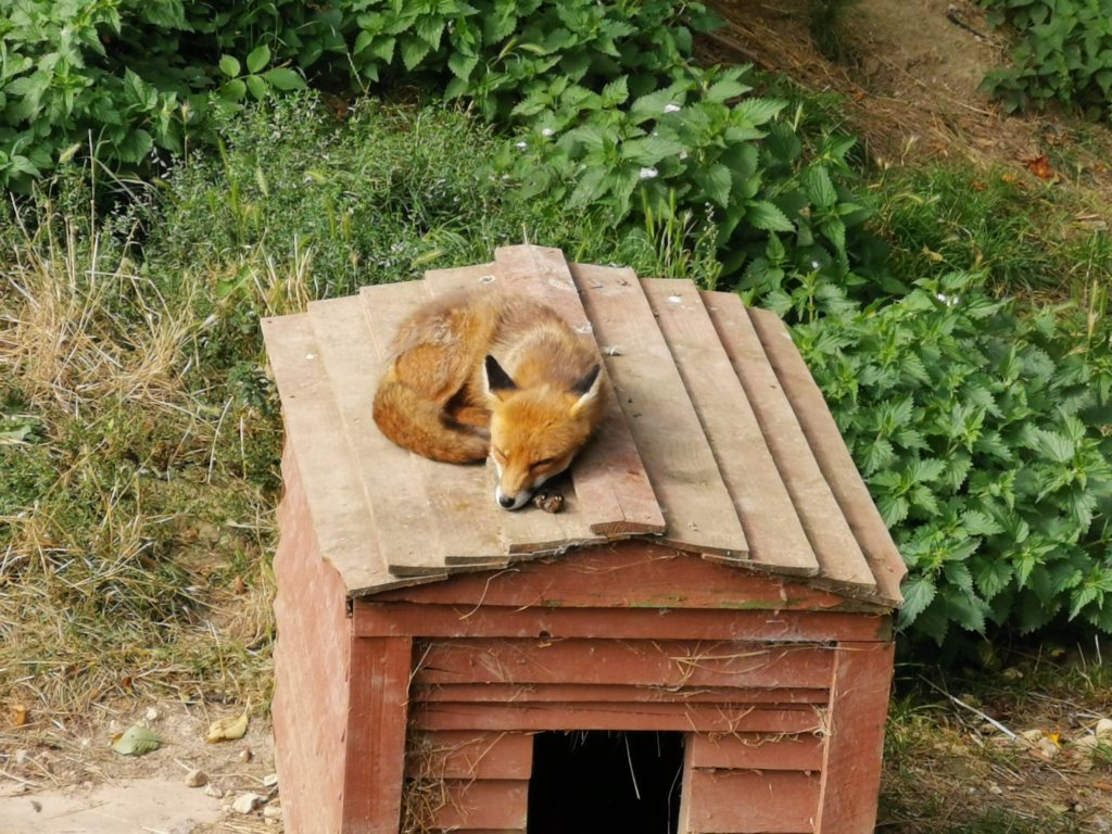 fox sleeping on top of its shelter at tiggywinkles