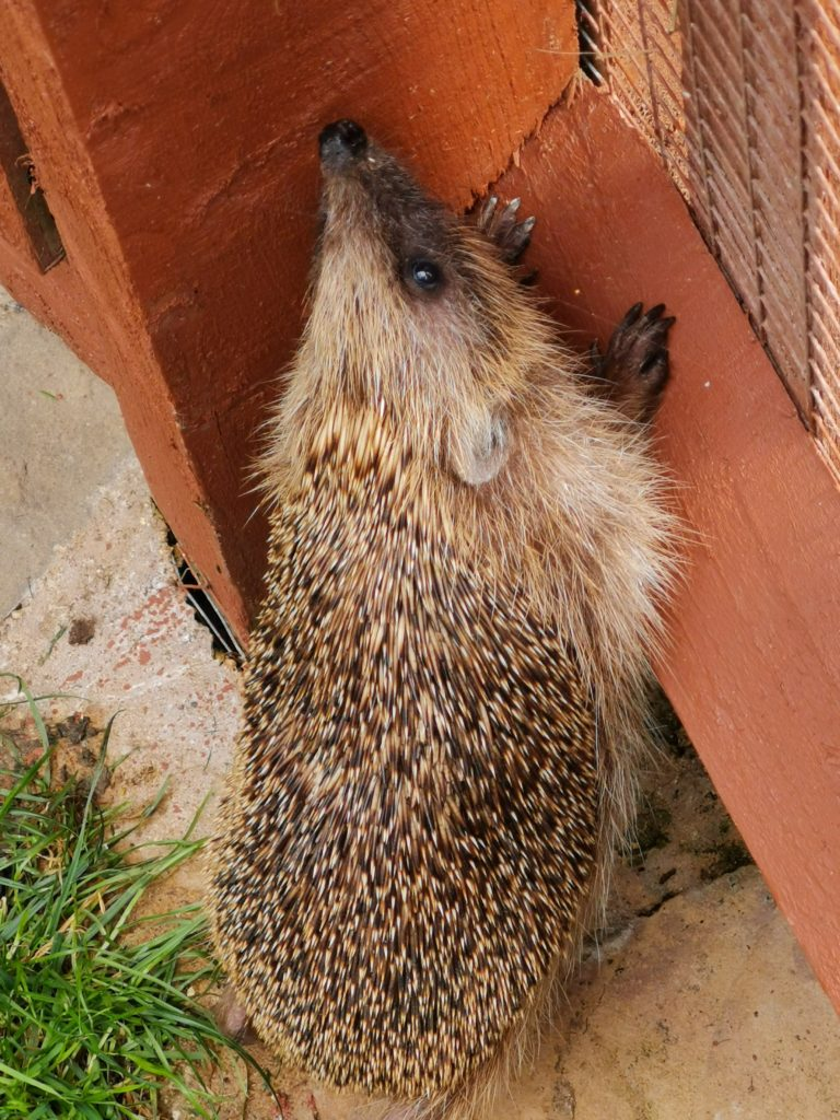 hedgehog climbing against fence at tiggywinkles