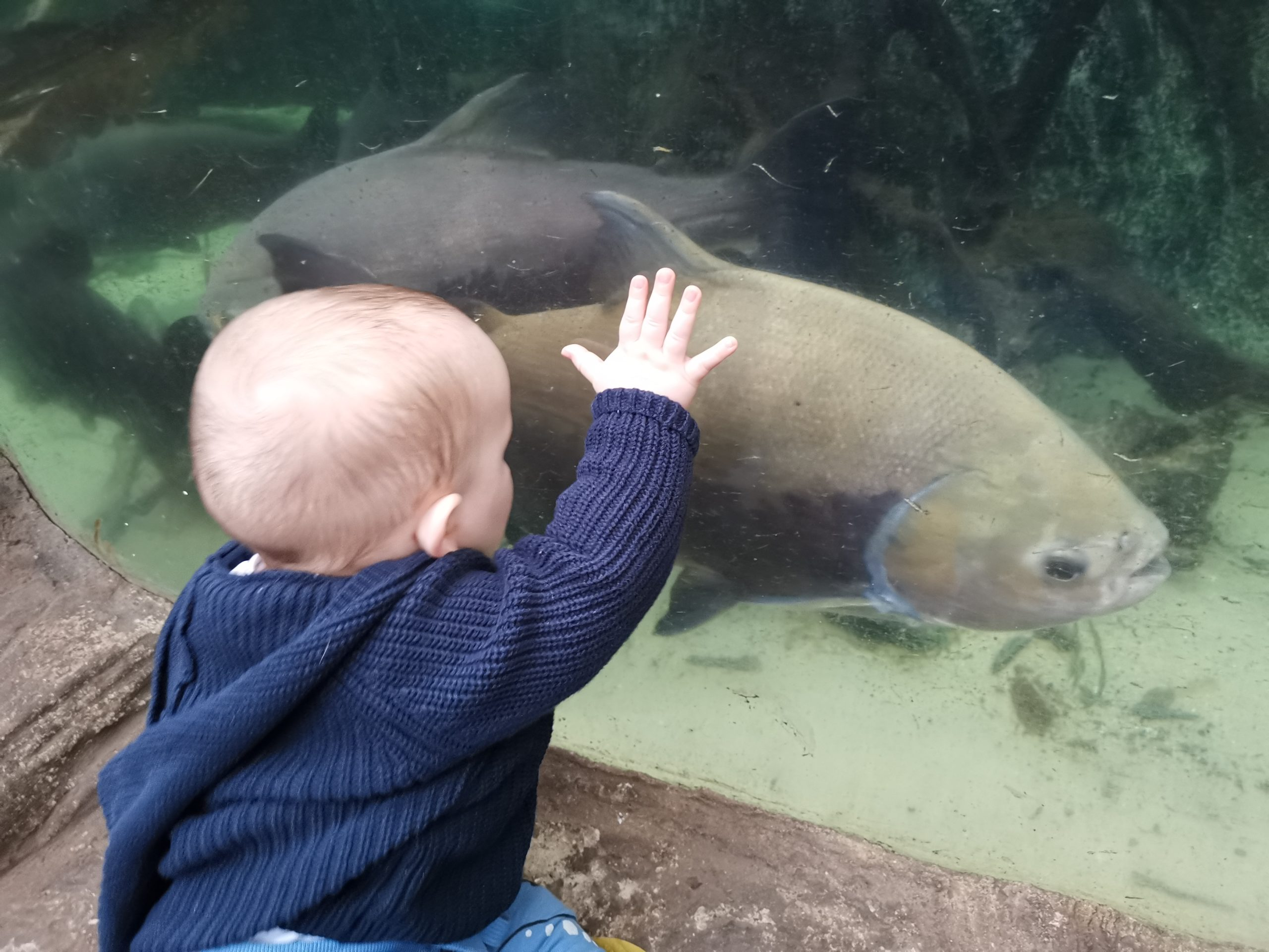 Baby with hand on fish tank as a large amazon river fish swims past