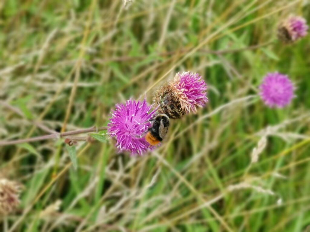 bumble bee on purple flower in meadow