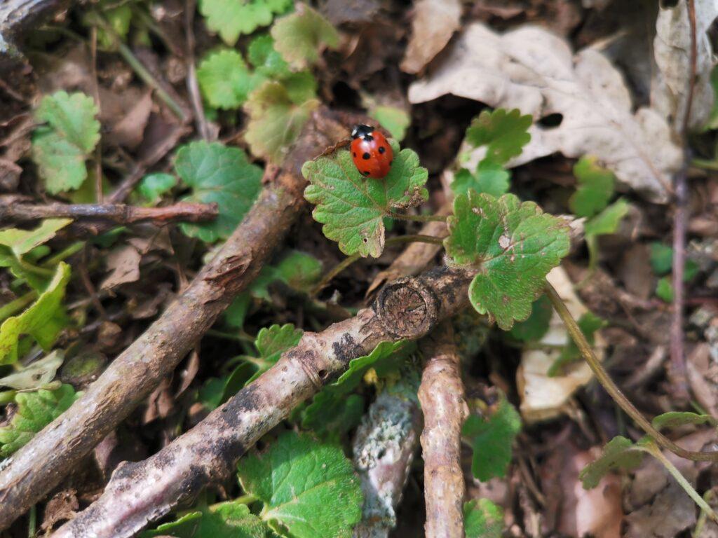 ladybird on small leaf