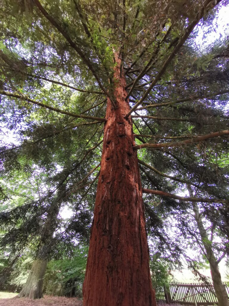 very tall redwood at Harcourt Arboretum