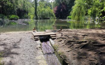 ducks and the water channel flowing from main pond down to lily pond
