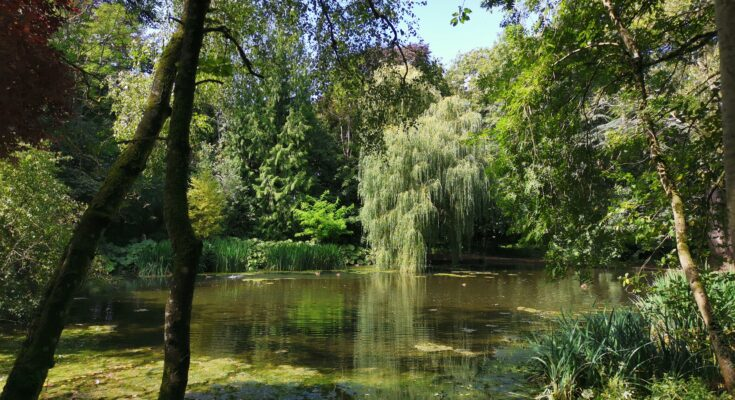 willow tree over the pond at Wychwood Wild Garden