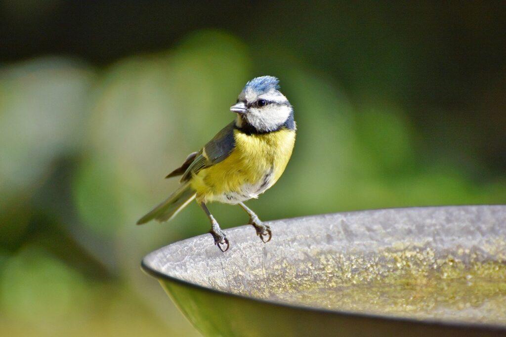 blue tit sat on the end of a metal bird bath for the Big Garden Birdwatch