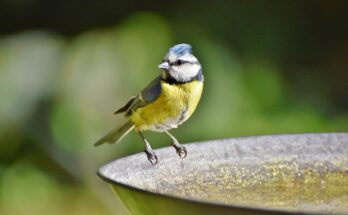 blue tit sat on edge of metal bird bath