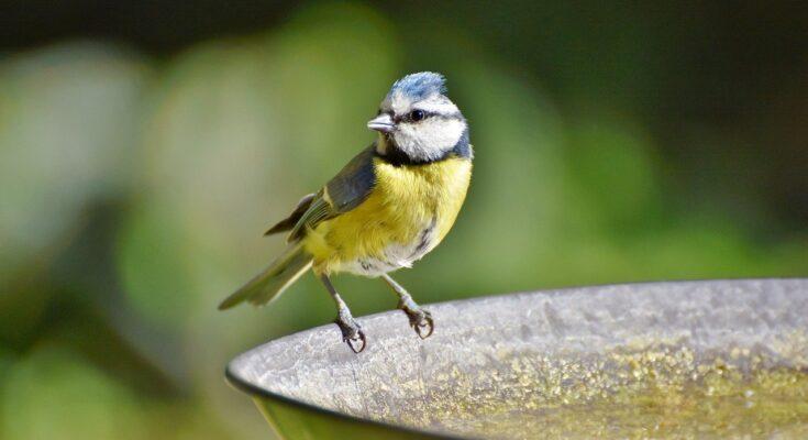 blue tit sat on edge of metal bird bath