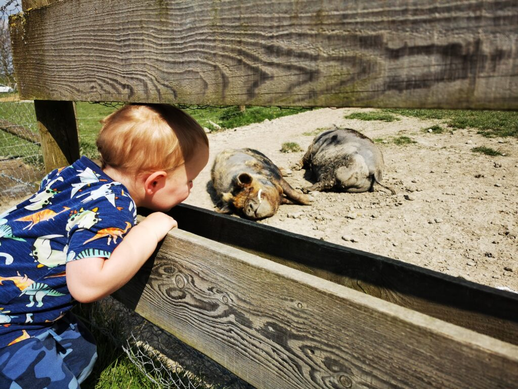 child looking through viewing hole at pigs at The Old Farm Shop