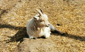 goat laid in the sun