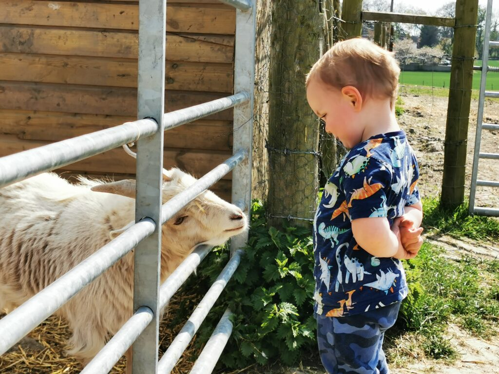 goat looking at child through fence