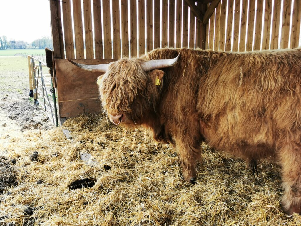 Highland cow in the shed at The Old Farm Shop