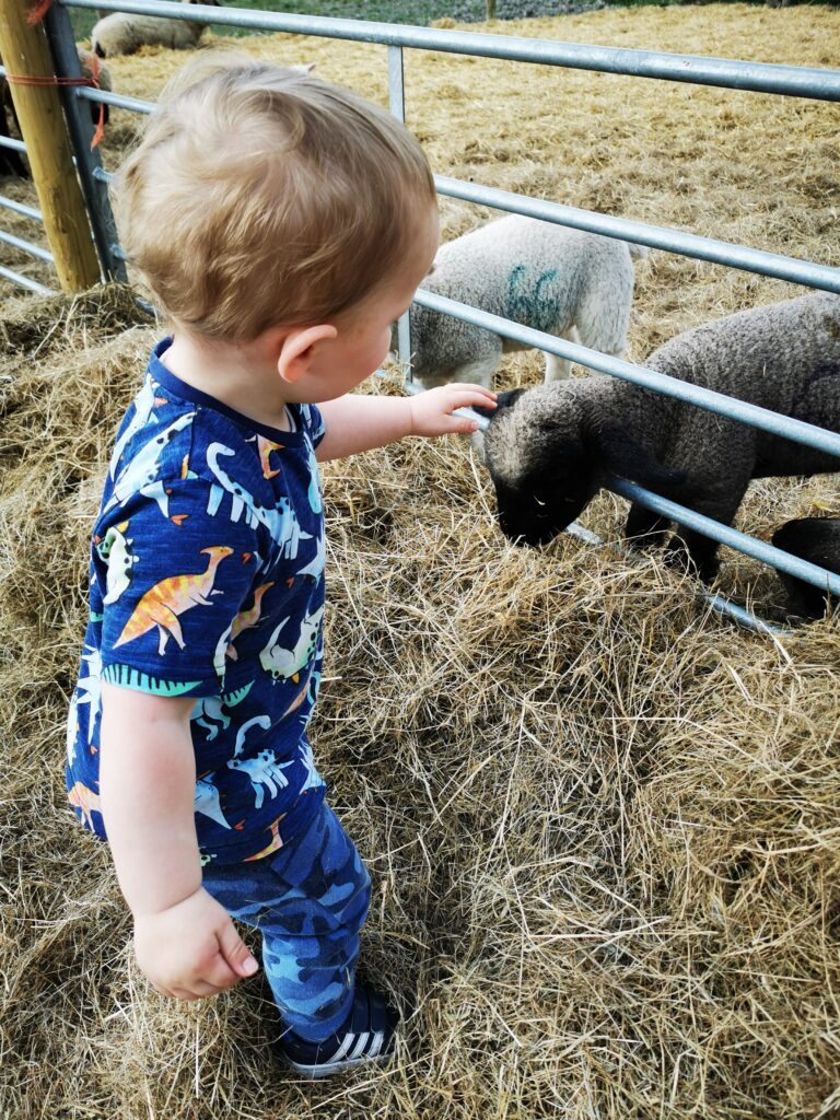 toddler stroking lamb at The Old Farm Shop