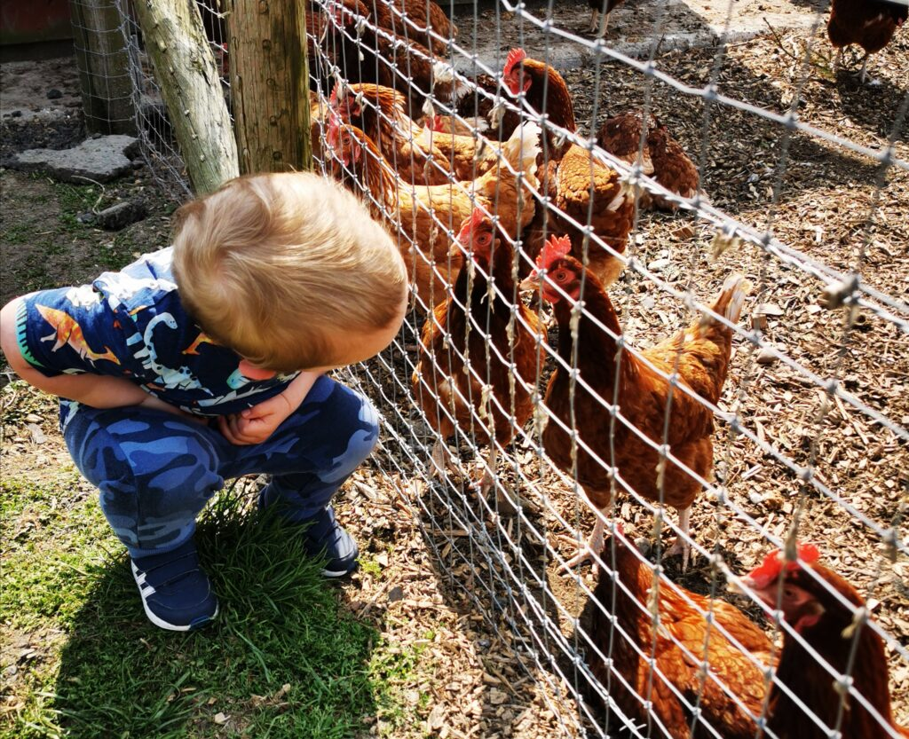 child looking at chickens through the fence
